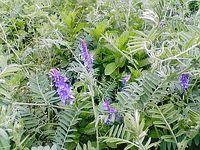ヘアリーベッチの花