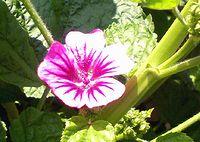 コモンマローの花
