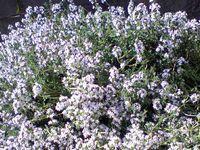 コモンタイムの花