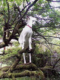 木に登るヤギ