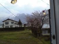 LOCO裏の桜が満開に!