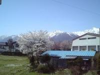 桜と雪山 最高です!!