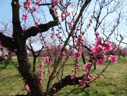 古河公園 桃の花