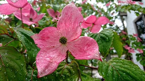 ピンク色のヤマボウシの花