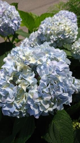 歩道の花壇のアジサイ