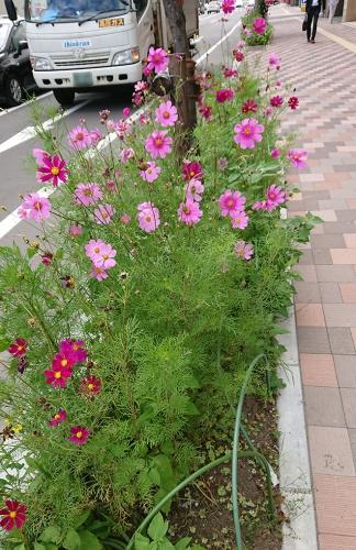 歩道の花壇のコスモス