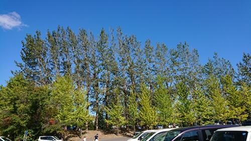 学校前のイチョウとポプラ並木がきれいでした