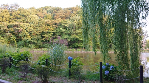 アジサイと池と柳