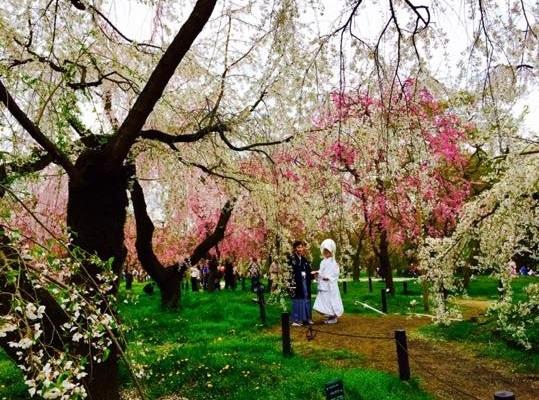 京都の桜7