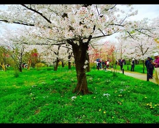 京都の桜9