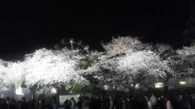 夜桜見物客