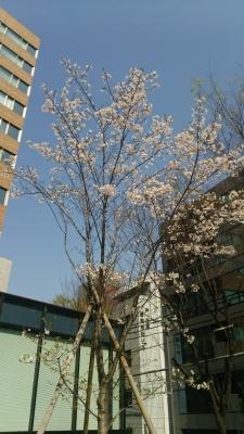 桜(裁判所)