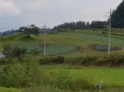 ハート型キャベツ畑