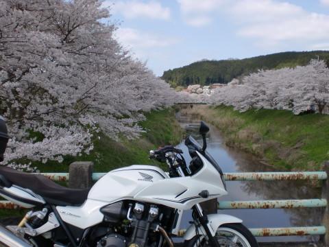 川沿いの桜と