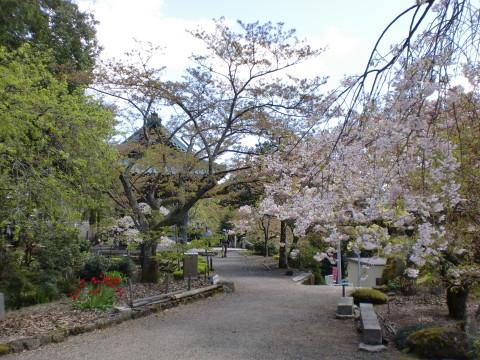 松尾寺の桜