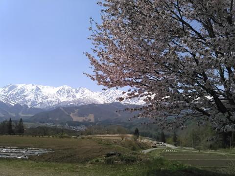 野平の一本桜