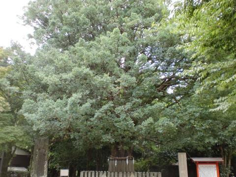 熊野速玉大社梛木