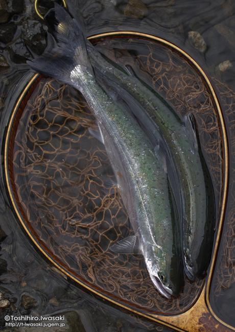 銀毛のヤマメアマゴ1