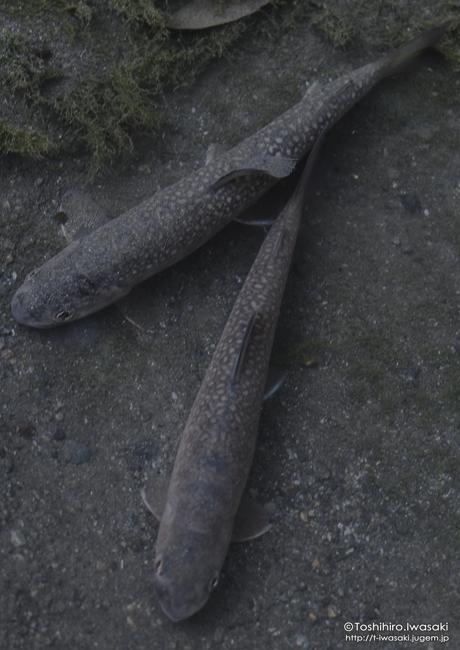 南アルプス水系のニッコウ系イワナ