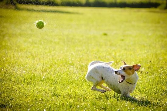 犬とボール