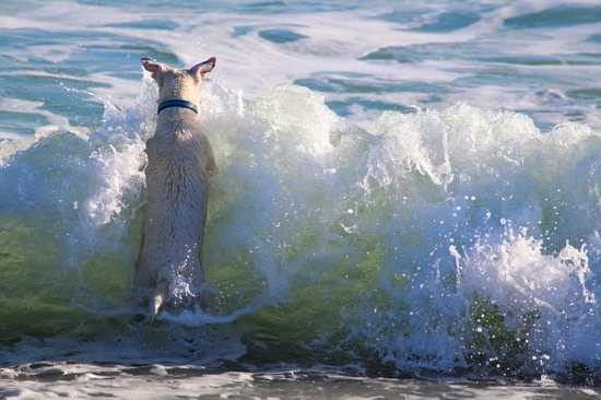 波に立ち向かう犬
