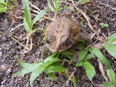 バリ島のカエル