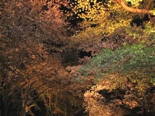二条城夜桜2