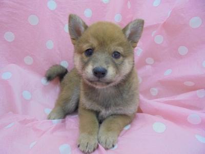 富山 柴犬