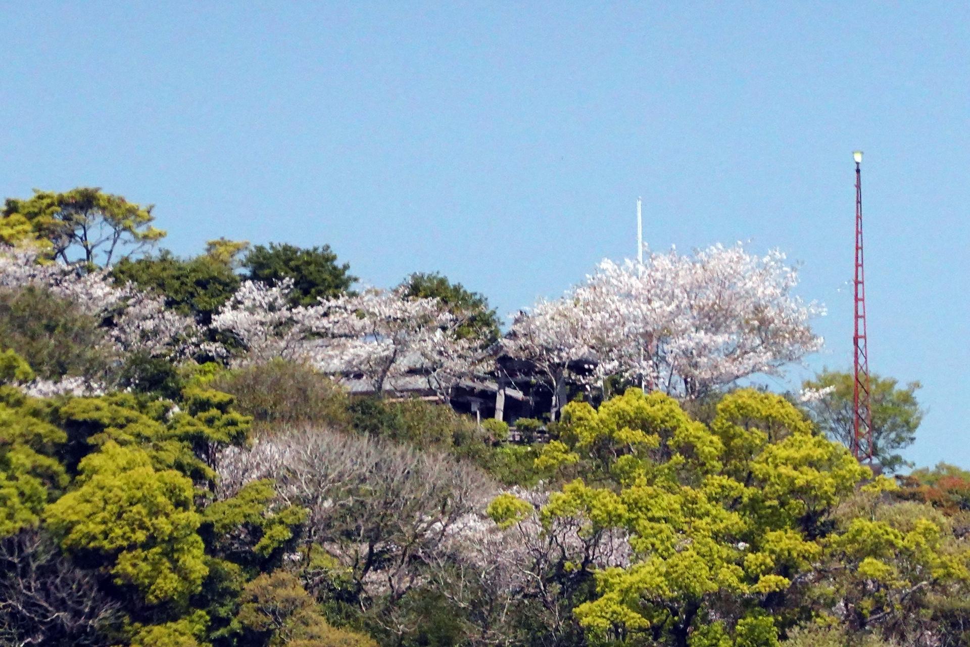 城山の鐘撞堂の桜