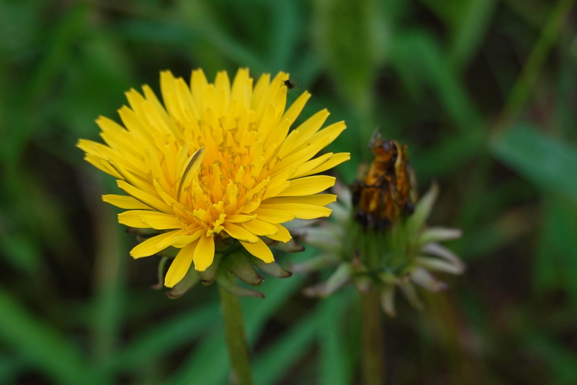 たんぽぽ花