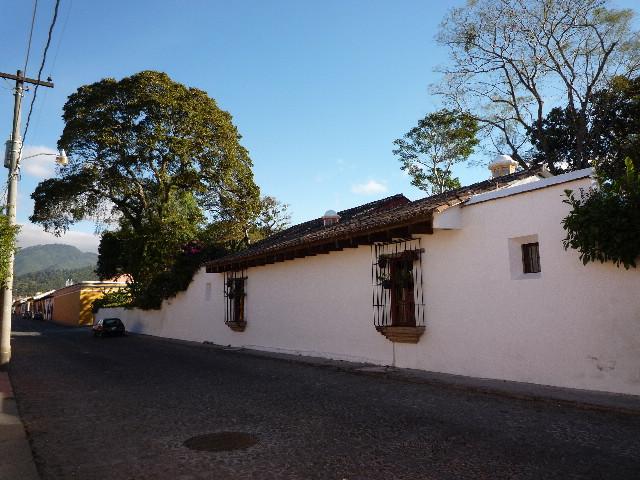 アンティグア_通学路上の大木