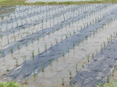 田植え後のマルチ