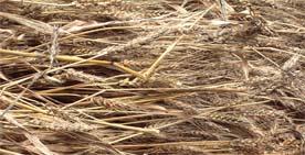 柳久保小麦