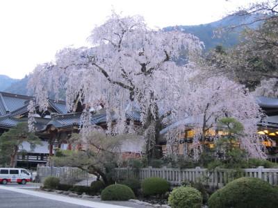 久遠寺しだれ桜?