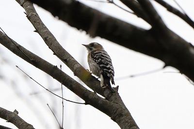 s-20190421-bird-gerdenIMG_1331-2 - コピー.jpg