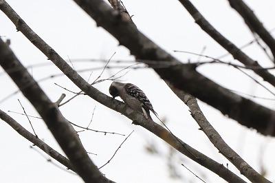 s-20190421-bird-gerdenIMG_1332-2 - コピー.jpg