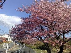 R135号沿いの河津桜