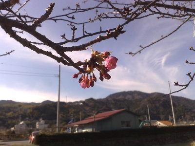 1月18日河津桜