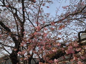 河津桜原木1
