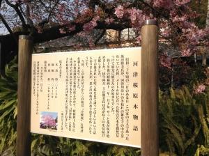 河津桜原木案内板