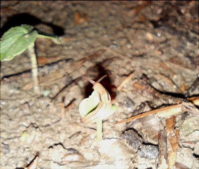 小雨の降る夜に、新芽を食べるナメクジ