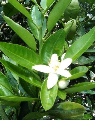 咲き始めたみかんの花