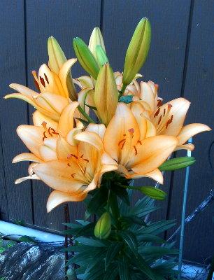 見事な花を咲かせた赤旗読者宅のユリ