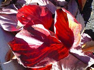 真っ赤になった葉っぱ