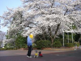 市民会館の桜