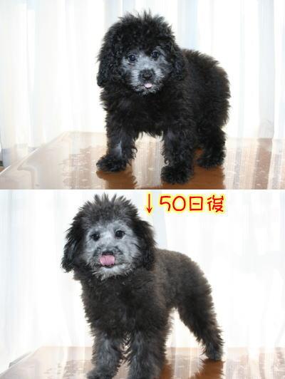 トイプードルシルバーの子犬