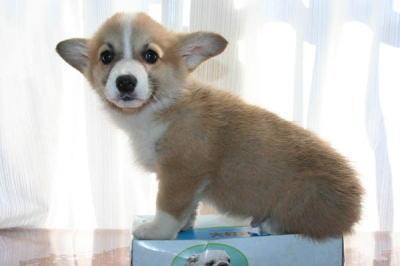 ウェルシュコーギーの子犬オス
