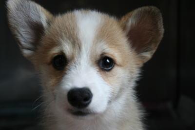 コーギーの子犬メス