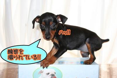 ミニチュアピンシャー(ミニピン)の子犬