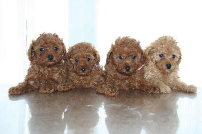 トイプードルレッドアプリコットの子犬